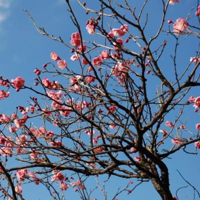 開花を待つ紅梅のつぼみ たいめいる2011年2月号