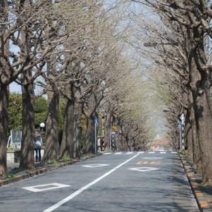 春のイチョウ並木 たいめいる2012年3月号