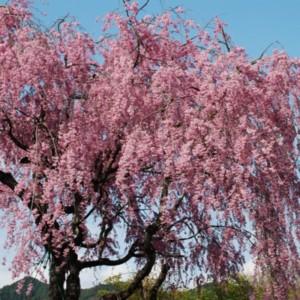 桜花爛満 たいめいる2012年4月号