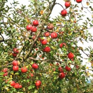 収穫の秋を感じるりんご園 たいめいる2012年10月号