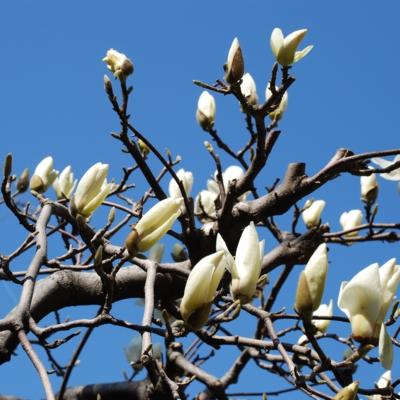 天に向かって咲く白モクレン たいめいる2013年3月号