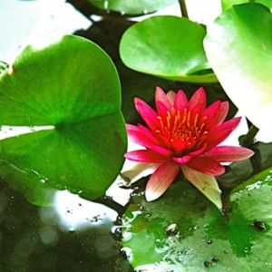 徳川園の池に漂うスイレンの花 たいめいる2013年7月号