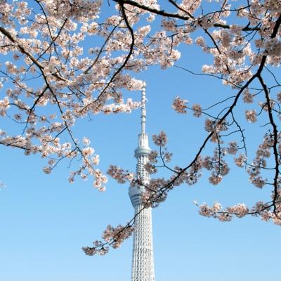 隅田公園からの桜の花 たいめいる2014年4月号