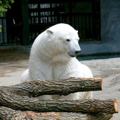 旭山動物園のホッキョクグマ たいめいる2014年11月号