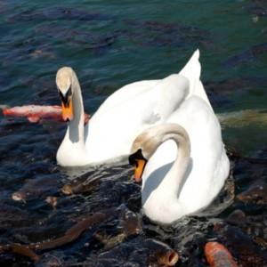 松本城のお堀にて鯉と白鳥 たいめいる2014年12月号