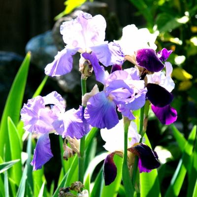 花菖蒲の季節 たいめいる2016年5月号